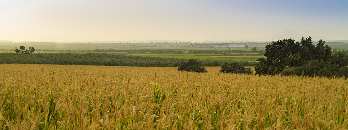 Campos de cereales / Cereal fields