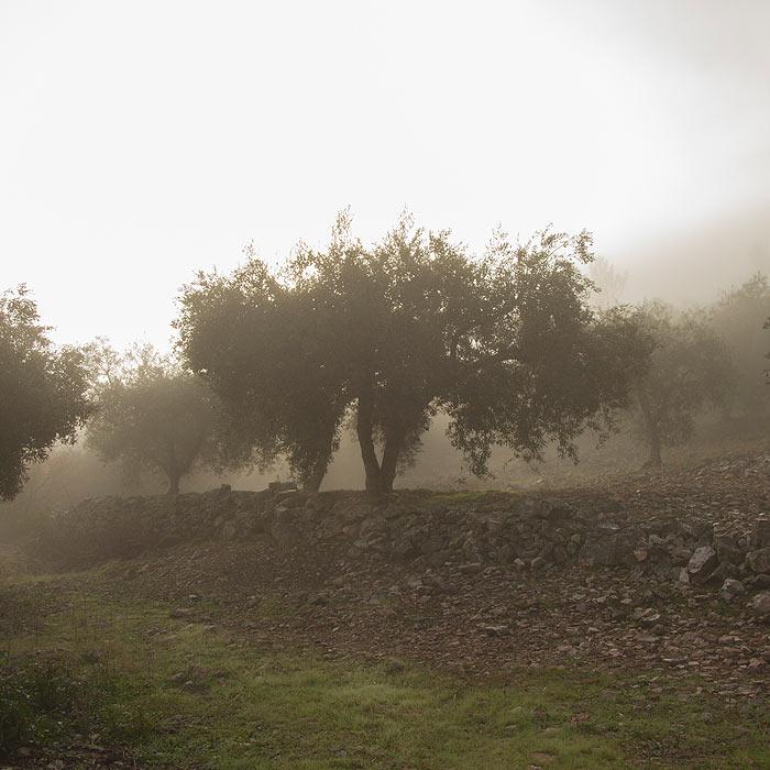 Olivar al amanecer con niebla