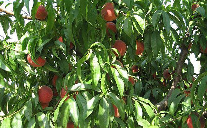fruta-de-hueso