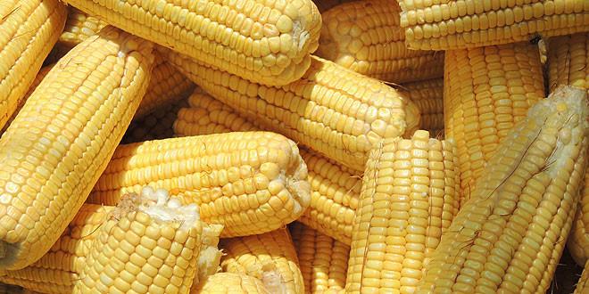 maiz-extremadura