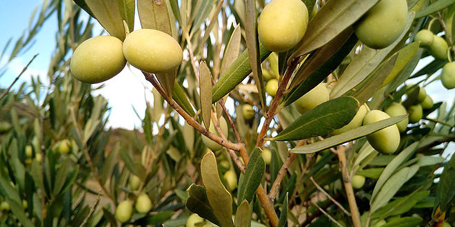 olivar-tradicional-extremadura