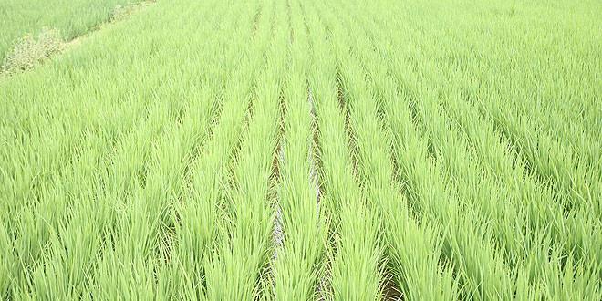 arroz-aspersion