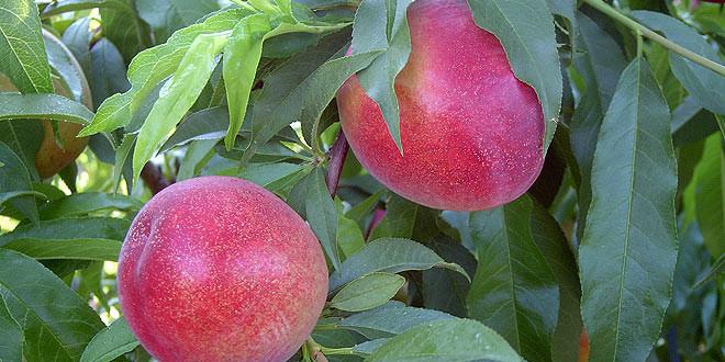acoapex-frutas