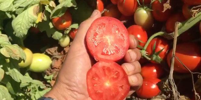 Producción y seguimiento de las variedades de tomates